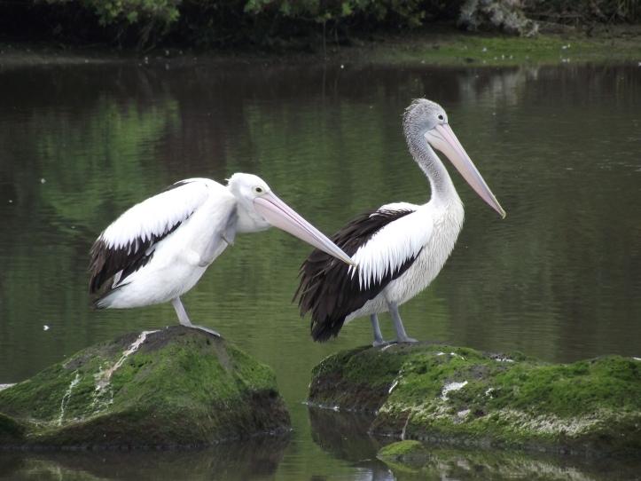 Australian Pelicans in Kororoit Creek